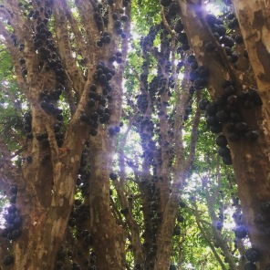 The Jabuticaba Tree