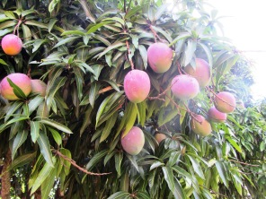 Looks like these mangos are almost ready to be picked